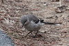 March 8, 2014 - (Creve Coeur State Park / Creve Coeur, Saint Louis County, Missouri) -- Northern Mockingbird