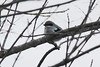 February 23, 2014 - (Peabody River King State Fish and Wildlife Area / New Athens, Saint Clair County, Illinois) -- Loggerhead Shrike