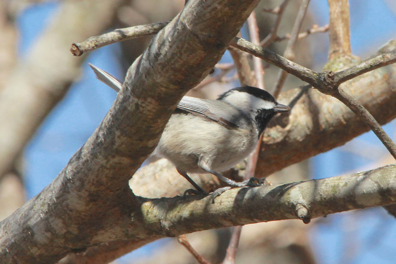 March 10, 2014 - (Simpson Lake County Park / Valley Park, Saint Louis County, Missouri) -- Carolina Chickadee