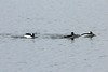 February 24, 2014 - (Horseshoe Lake State Park / Granite City, Madison County, Illinois) -- Buffleheads