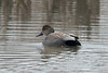 March 8, 2014 - (Creve Coeur County Park / Creve Coeur, Saint Louis County, Missouri) -- Male Gadwall