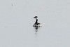 February 23, 2014 - (Baldwin Lake / Baldwin, Randolph County, Illinois) -- Horned Grebe