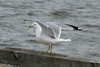 February 23, 2014 - (Baldwin Lake / Baldwin, Randolph County, Illinois) -- Ring-billed Gull