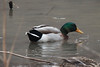 March 8, 2014 - (Creve Coeur County Park / Creve Coeur, Saint Louis County, Missouri) -- Male Mallard