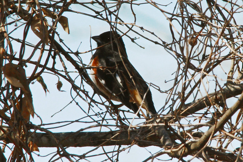 March 11, 2014 - (Shaw Nature Reserve / Gray Summit, Franklin County, Missouri) -- Male Eastern Towhee