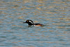 March 7, 2014 - (Horseshoe Lake State Park / Granite City, Madison County, Illinois) -- Male Hooded Merganser
