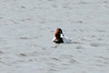 March 12, 2014 - (Bellefontaine Conservation Area / Bellefontaine Neighbors, Saint Louis County, Missouri) -- Canvasback