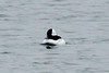 March 8, 2014 - (Creve Coeur County Park [Sailboat Cove] / Creve Coeur, Saint Louis County, Missouri) -- Male Bufflehead