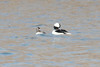 March 10, 2014 - (Simpson Lake County Park / Valley Park, Saint Louis County, Missouri) -- Pair of Buffleheads
