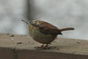 February 15, 2014 - (near backyard feeders over Grand Glaize Creek / Manchester, Saint Louis County, Missouri) -- Carolina Wren