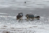 March 8, 2014 - (Creve Coeur County Park / Creve Coeur, Saint Louis County, Missouri) -- Green-winged Teal