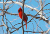 March 10, 2014 - (Simpson Lake County Park / Valley Park, Saint Louis County, Missouri) -- Male Northern Cardinal