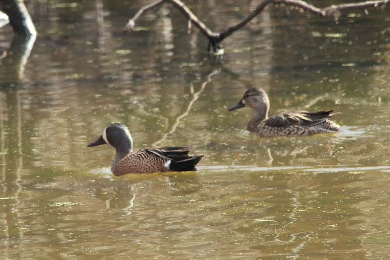 March 30, 2014 - Dalbow Road / O'Fallon, Saint Charles County, Missouri) -- Pair of Blue-winged Teal