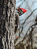 March 11, 2014 - (Shaw Nature Reserve / Gray Summit, Franklin County, Missouri) -- Male Pileated Woodpecker