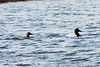 March 12, 2014 - (Bellefontaine Conservation Area / Bellefontaine Neighbors, Saint Louis County, Missouri) -- Pair of Canvasbacks