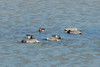 March 10, 2014 - (Simpson Lake County Park / Valley Park, Saint Louis County, Missouri) -- Male Green-winged Teals