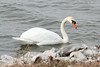 March 1, 2014 - (Horseshoe Lake State Park / Granite City, Madison County, Illinois) -- Mute Swan