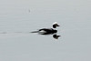 February 24, 2014 - (Horseshoe Lake State Park / Granite City, Madison County, Illinois) -- Male Long-tailed Duck