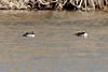March 10, 2014 - (Simpson Lake County Park / Valley Park, Saint Louis County, Missouri) -- Male Hooded Mergansers
