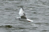 February 23, 2014 - (Baldwin Lake / Baldwin, Randolph County, Illinois) -- Bonaparte's Gull
