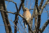March 6, 2014 - (Rockwoods Reservation / Wildwood, Saint Louis County, Missouri) -- Red-shouldered Hawk
