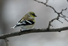 March 2, 2014 - (near backyard feeders over Grand Glaize Creek / Manchester, Saint Louis County, Missouri) -- American Goldfinch