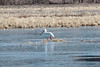 March 17, 2014 - (Eagle Bluffs Conservation Area / Columbia, Boone County, Missouri) -- American White Pelican