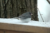 "March 2, 2014 - (near backyard feeders over Grand Glaize Creek / Manchester, Saint Louis County, Missouri) -- ""Slate-colored"" Dark-eyed Junco"