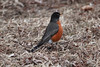 March 8, 2014 - (Creve Coeur County Park [Sailboat Cove] / Creve Coeur, Saint Louis County, Missouri) -- American Robin
