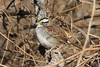 January 29, 2014 - (Meramec Landing Park [bicycle trail] / Valley Park, Saint Louis County, Missouri) -- White-throated Sparrow