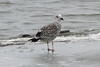 March 1, 2014 (Riverlands Migratory Bird Sanctuary [Ellis Bay] / West Alton, Saint Charles County, Missouri) -- Great Black-backed Gull