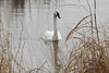 February 19, 2014 (Riverlands Migratory Bird Sanctuary [Heron Pond] / West Alton, Saint Charles County, Missouri) -- Trumpeter Swan