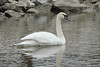 March 1, 2014 (Riverlands Migratory Bird Sanctuary [Ellis Bay near Ellis Island] / West Alton, Saint Charles County, Missouri) -- Mute Swan