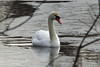 February 24, 2014 - (Horseshoe Lake State Park / Granite City, Madison County, Illinois) -- Mute Swan