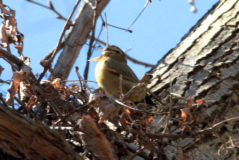 April 22, 2014 - (Rockwoods Reservation [over trail across from visitor center] / Wildwood, Saint Louis County, Missouri) -- Worm-eating Warbler