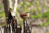 April 18, 2014 - (Castlewood State Park [by trail near railroad tracks] / Ballwin, Saint Louis County, Missouri) -- Carolina Wren