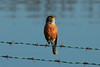 April 19, 2014 - (Simpson Lake County Park [water treatment pond] / Valley Park, Saint Louis County, Missouri) -- American Robin singing