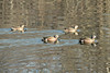 April 19, 2014 - (Simpson Lake County Park [water treatment pond] / Valley Park, Saint Louis County, Missouri) -- Blue-winged Teal