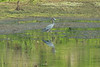 May 22, 2014 - (Simpson Lake County Park [Water-treatment Ponds] / Valley Park, Saint Louis County, Missouri) -- Little Blue Heron