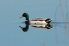 April 19, 2014 - (Simpson Lake County Park [on lake] / Valley Park, Saint Louis County, Missouri) -- Male Mallard