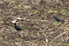 April 21, 2014 - (Columbia Bottom Conservation Area [in plowed farm field] / Spanish Lake, Saint Louis County, Missouri) -- Pair of Brewer's Blackbirds