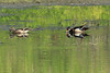 May 22, 2014 - (Simpson Lake County Park [Water-treatment Ponds] / Valley Park, Saint Louis County, Missouri) -- Pair of Wood Ducks