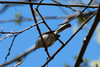 April 18, 2014 - (Castlewood State Park / Ballwin, Saint Louis County, Missouri) -- Blue-gray Gnatcatcher
