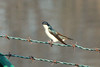 April 19, 2014 - (Simpson Lake County Park [water treatment pond] / Valley Park, Saint Louis County, Missouri) -- Tree Swallow