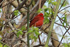 April 24, 2014 - (Castlewood State Park [near HQ] / Ballwin, Saint Louis County, Missouri) -- Summer Tanager