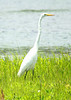 June 24, 2014 - (Riverlands Migratory Bird Sanctuary [Ellis Bay] / West Alton, Saint Charles County, Missouri) -- Great Egret