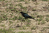 April 23, 2014 (Darst Bottom Road [plowed farm field] / Defiance, Saint Charles County, Missouri) -- Male Brewer's Blackbird