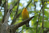 April 24, 2014 - (Castlewood State Park [over trail near railroad tracks] / Ballwin, Saint Louis County, Missouri) -- Prothonotary Warbler