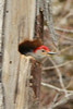 April 17, 2014 - (Rockwoods Reservation [near visitor center] / Wildwood, Saint Louis County, Missouri) -- noisy Red-bellied Woodpecker in hole