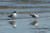 April 16, 2014 (Riverlands Migratory Bird Sanctuary [Ellis Bay] / West Alton, Saint Charles County, Missouri) -- Bonaparte's Gulls